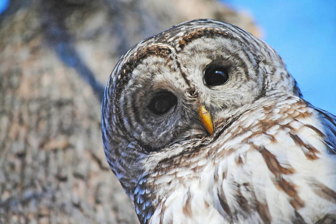 NW_APA_2011_19539_153740_ShaynaHartley_Barred_Owl_KK